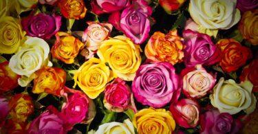 Roses - Language of Flowers